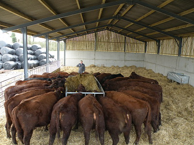 Cattle in new shed